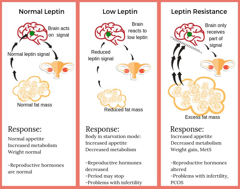 Leptin's role in fertility and hormonal regulation